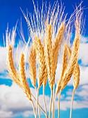 Ears of wheat against a cloudy sky