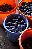 Freshly harvested damsons in plastic buckets