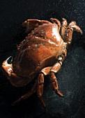 A fresh crab