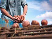 A farmer harvesting potatoes