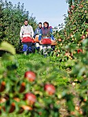 Three people carrying harvesting bags in an apple orchard