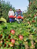 Drei Personen mit umgehängten Erntetaschen in der Apfelplantage