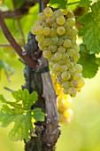 Chardonnay-Trauben am Rebstock