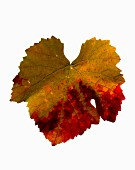 An autumnal vine leaf from a Chardonnay vine (seen from above)