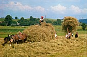 Hay making as in the olden days
