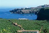 Blick über dichte Bananenplantagen auf die felsige Meeresküste; Teneriffa, Kanarische Inseln, Spanien