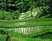 Green rice terraces with meandering rice paddies, Bali, Indonesia