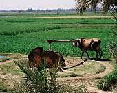 Mit Tierkraft betriebene Bewässerungsanlage; Ägypten, Nordafrika