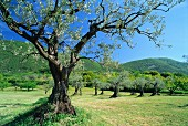 Olive trees in a gently rolling landscape, Drôme Region, France