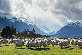 Sheep grazing against a magnificent mountain backdrop; Queenstown, South Island, New Zealand