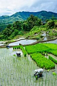 Rice being harvested on the rice terraces of Banaue, UNESCO World Heritage Site, Northern Luzon, Philippines