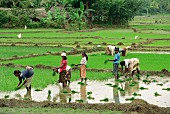 Rice being planted in Sri Lanka, Asia