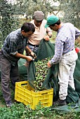 Olives being gathered to make fine, cold-pressed oil, Frantoio Galantino, Bisceglie, Puglia, Italy, Europe