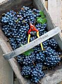 Cabernet Sauvignon grapes, Pauillac-Medoc, Aquitaine, France, Europe