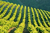 Vineyards, Vignobles de Gigandes, Vaucluse, Provence, France, Europe