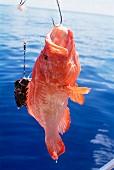 Fisch am Haken, Nordostküste, Insel Praslin, Seychellen, Indischer Ozean, Afrika