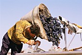 Grapes being harvested in Pauillac, Gironde, France