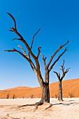 Abgestorben Akazienbäume in Deadvlei in der Namib-Wüste - Teil des Naukluft-Nationalparks, Namibia, Afrika