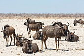 A herd of gnu in the Etosha National Park, Namibia, Africa