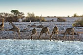 Giraffes at the Okaukuejo watering hole in the Etosha National Park, Namibia