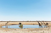 Elephants, wart hogs and giraffes at the Chudop watering hole at the Etosha National Park, Namibia