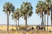 Elephants eating under Makalani palm trees near the Twee Palms watering hole in the Etosha National Park, Namibia