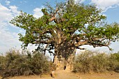 A man under a giant baobab tree in the Bwabwata National Park in Caprivi, Namibia