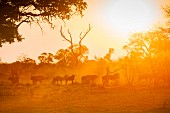 A herd of gnu in the evening at sunset, Bwabwata National Park, Namibia