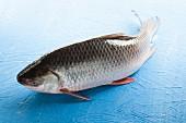 Probarbus Jullieni (Karpfenfisch aus Indochina)
