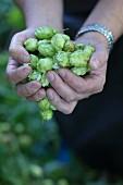 Hops being harvested - Wasserschloss von Mellenthin, Usedom, Mecklenburg-Vorpommern