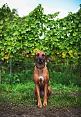 The family dog Nala at the Heinrich Spindler vineyard in Forst on the wine route (Rhineland Palatinate)