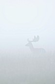 A fallow deer in a field in the morning mist