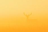 A fallow deer in a field in the morning mist
