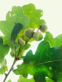 A close up of oak leaves and acorns