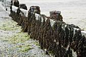 Bladderwrack seaweed on wooden planks