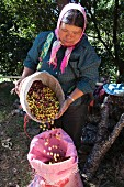 A woman pouring freshly picked coffee beans into a sack (Thailand)