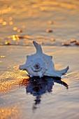 Muschel in der Abendsonne am Strand liegend