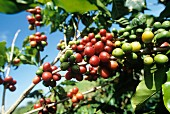 Coffee beans on a bush