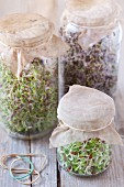 Various bean sprouts in sprouting jars