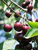 Cherries on the tree