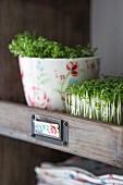 Frische Gartenkresse in Holzfach eines Küchenregals