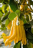 A Buddha's hand lemon on a tree
