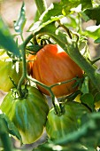 A beefsteak tomato on a vine