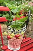 A strawberry plant in a decorative woven plastic pot on a red garden chair