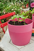 Basil seedling in a pink plastic pot outside on a garden table
