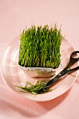 Frisches Weizengras Aluschälchen
