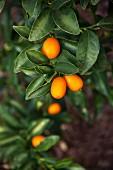 Kumquats on a tree, close-up