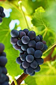 Ripe pinot noir grapes on a vine (Austria)