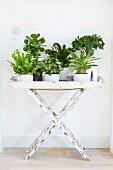 Verschiedene Grünpflanzen in Blumentöpfen auf Tabletttisch vor weisser Wand