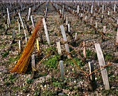 Bundle of osier in pruned vineyard of Château Palmer